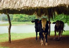 Las vacas por el lago